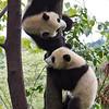 Giant Pandas, Ailuropoda melanoleuca <br /> Ying & yang