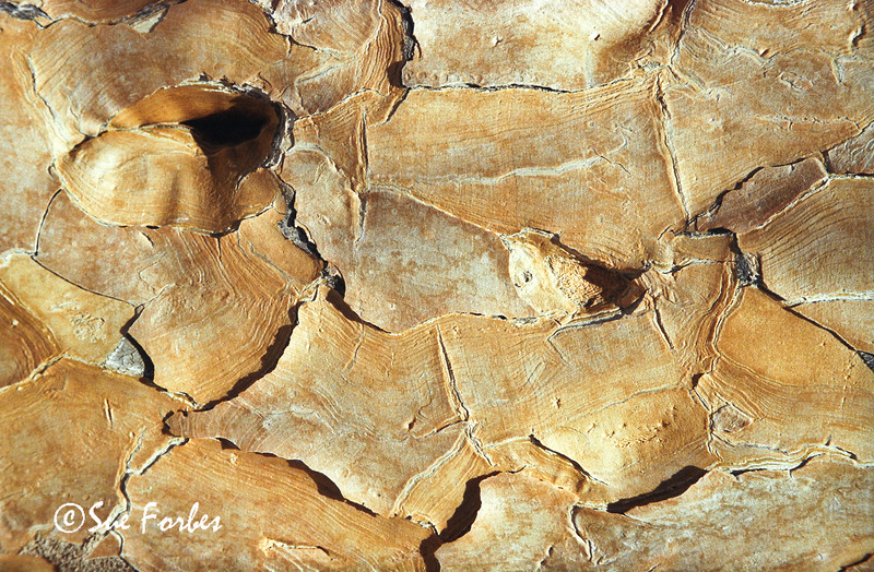 Bark of the Quiver Tree near Ais-Ais, Namibia, Africa