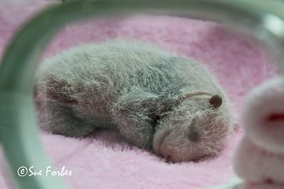 Giant Panda, Ailuropoda melanoleuca  Baby panda in the incubator
