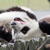 Giant Pandas, Ailuropoda melanoleuca <br /> Wow, that was a great meal