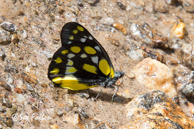 Butterfly, Annapurna Circuit, Nepal
