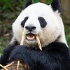 Giant Panda, Ailuropoda melanoleuca <br /> Bamboo fangs!