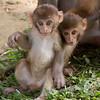 Monkeys by Swayambhunath Stupa, Kathmandu, Nepal