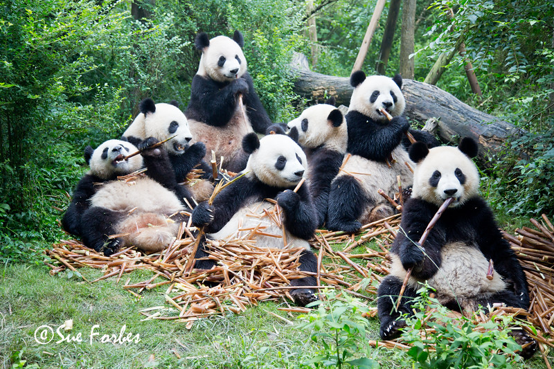 Giant Pandas, Ailuropoda melanoleuca <br /> Panda feast!