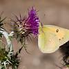 Butterfly, Ghyaru, Annapurna circuit, Nepal