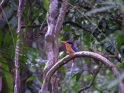 Buff-breasted Paradise Kingfisher (Tanysiptera sylvia)