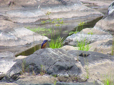 Azure Kingfisher (Ceyx azureus)