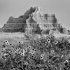 Black-eyed Susans at the foot of rocks in Badlands National Park, South Dakota, #0736