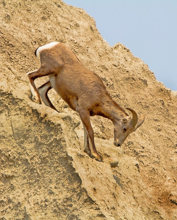 Bighorn sheep leaps across high rocks in the Badlands National Park, #0727