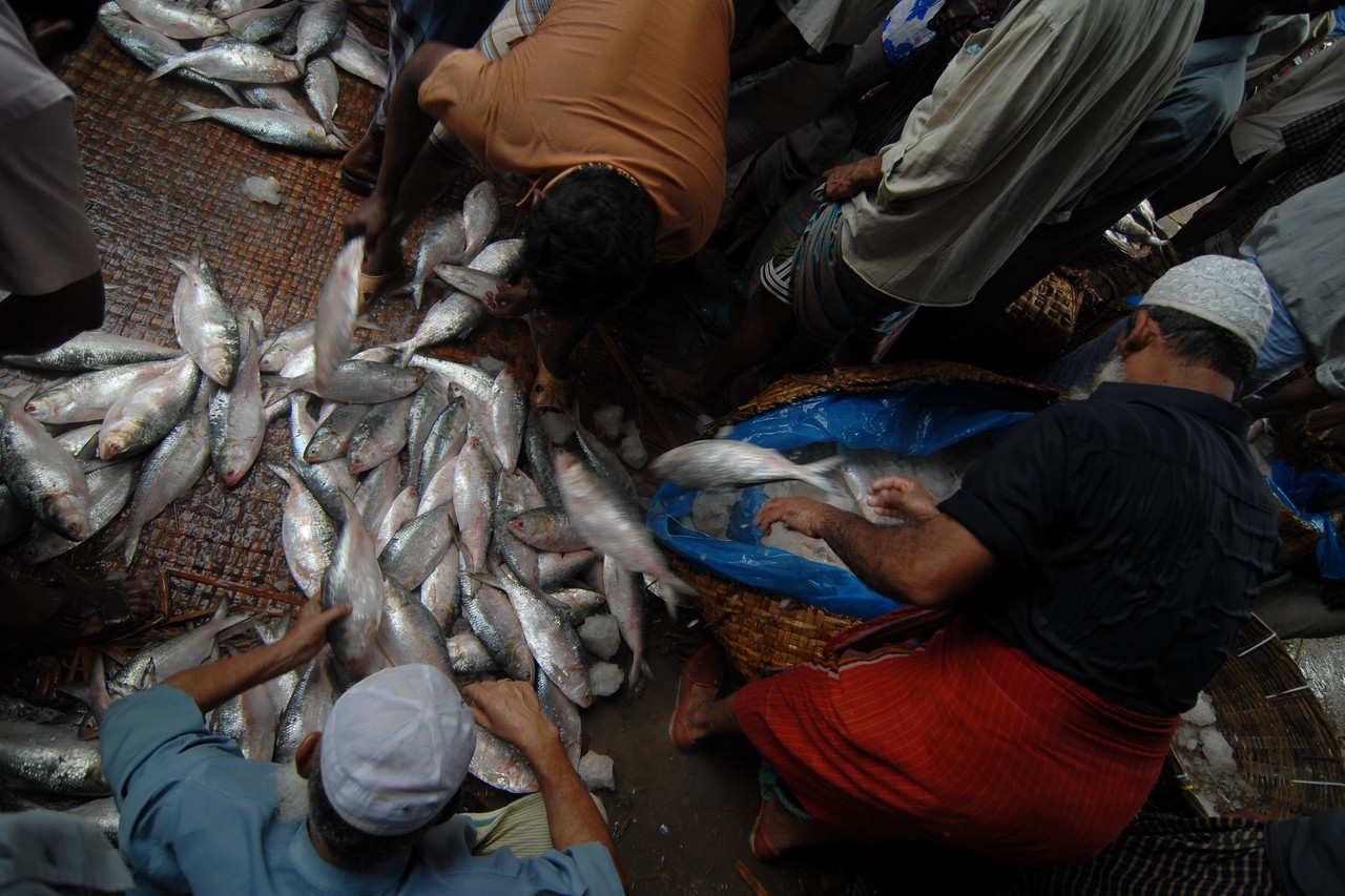 Fish market. Fresh fish being chucked out of the ice and put on the ground for sorting and selling.<br /> Dhaka (Bangla: ঢাকা, pronounced [ɖʱaka])— (Dacca) is the capital city of Bangladesh (Bengali: বাংলাদেশ [ˈbaŋlad̪eʃ] Bangladesh). Dhaka, located on the banks of the Buriganga River is a megacity with a population of over 12 million. Dhaka is known as the City of Mosques and renowned for producing the world's finest muslin. it is a center for culture, education and business.