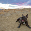 Desert Frenchie