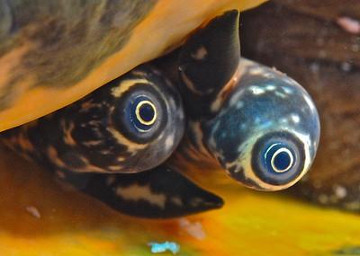 Conch eyes