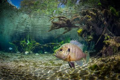 Florida Springs sunfish