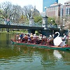 Boston's Swans in Spring