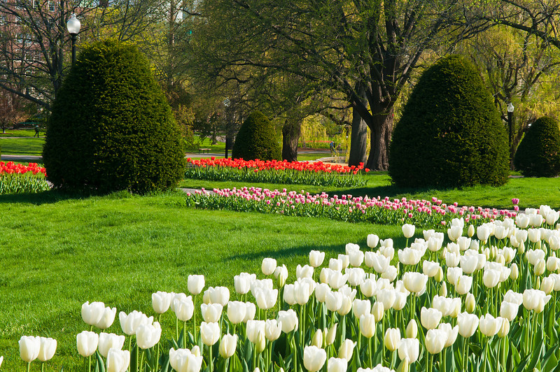 Rows of Bright Tulips