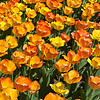 Boston Tulips in Bloom 2