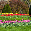 Spring Tulips in Boston Garden