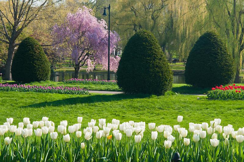 Early Weeping in Boston Garden