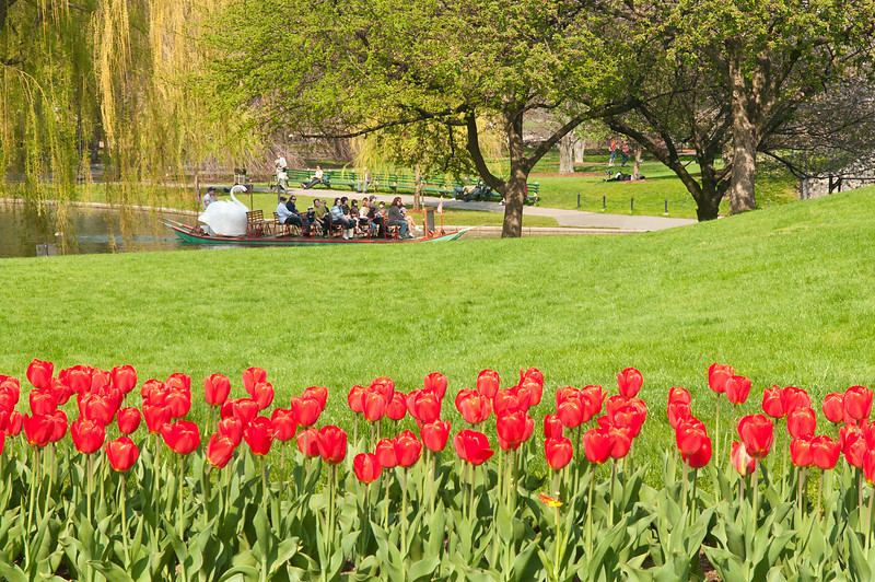 Tulips and Swans in Boston Garden