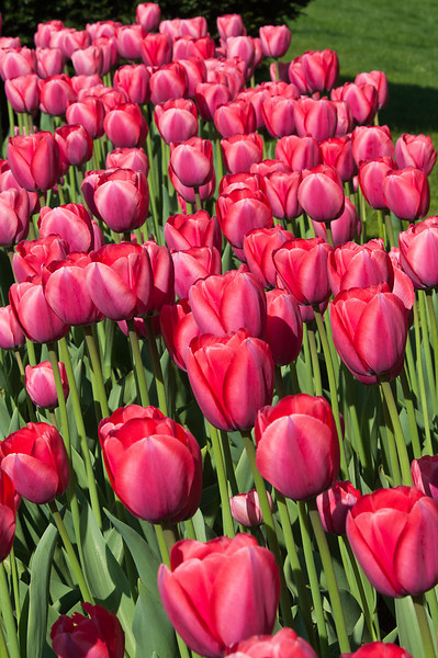 Tulips in Shades of Red