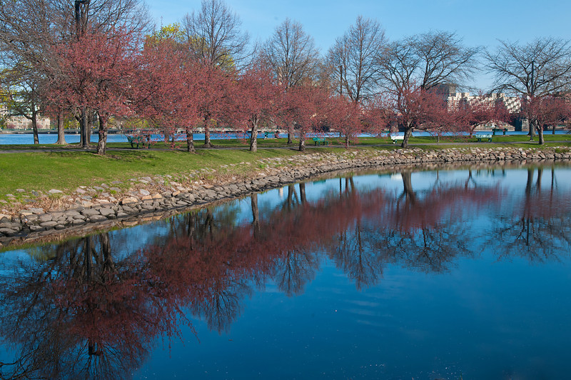 Reflected Boston Blossoms