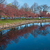 Reflected Boston Blossoms