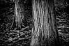Giant Cedars, Mount Revelstoke National Park, British Columbia, Canada.