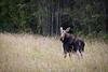 Moose, Alces alces, in a meadow, Northern British Columbia, Canada.