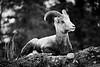 Dall sheep, Ovis dalli, Northern British Columbia, Canada.