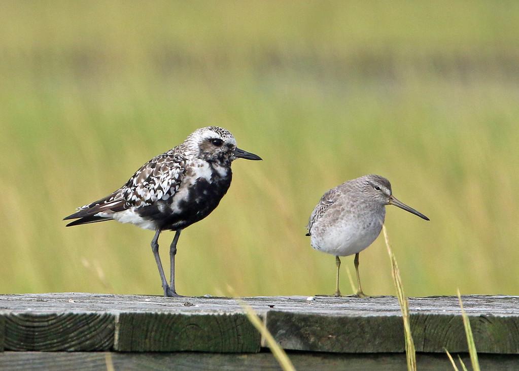 Black-bellied Plover & Short-billed Dowitcher
