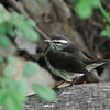 Louisana Waterthrush