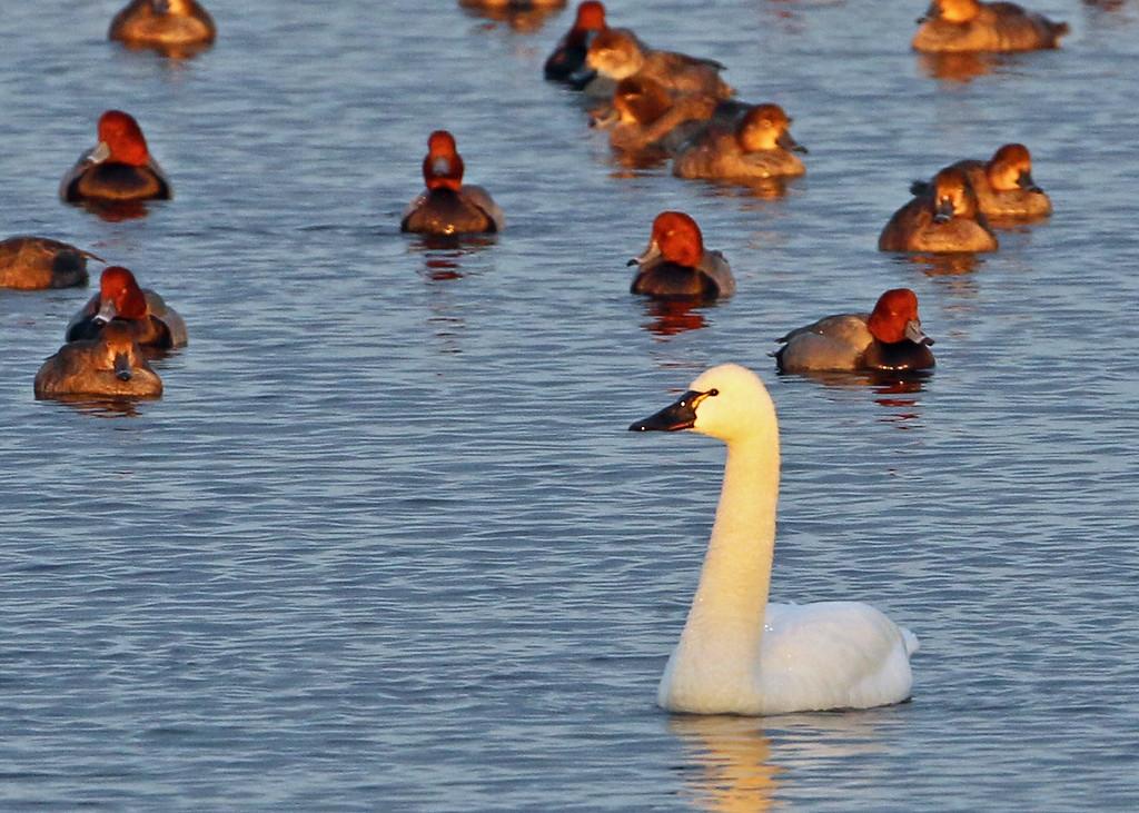 Tundra Swan & Redheads
