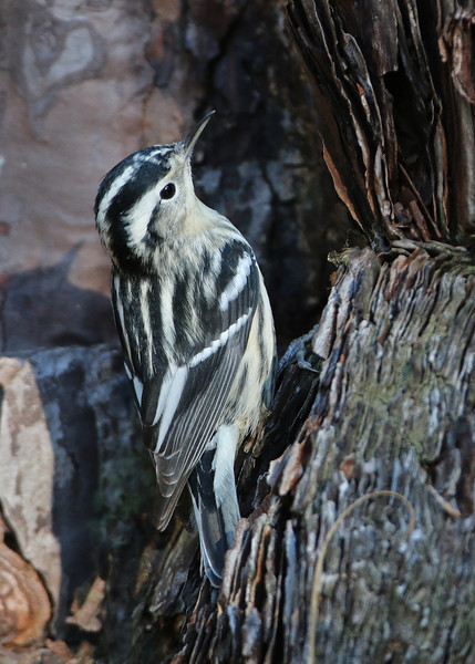 Black and White Warbler<br /> Wrightsville Beach,  NC