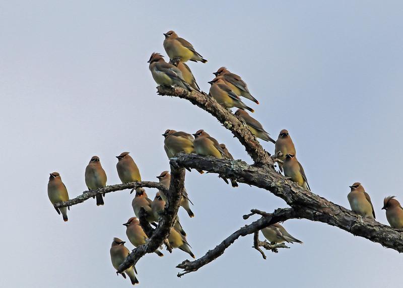 Cedar Waxwings<br /> Bald Head Island, NC