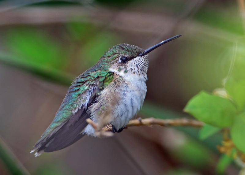Ruby-throated Hummingbird<br /> Bald Head Island, NC