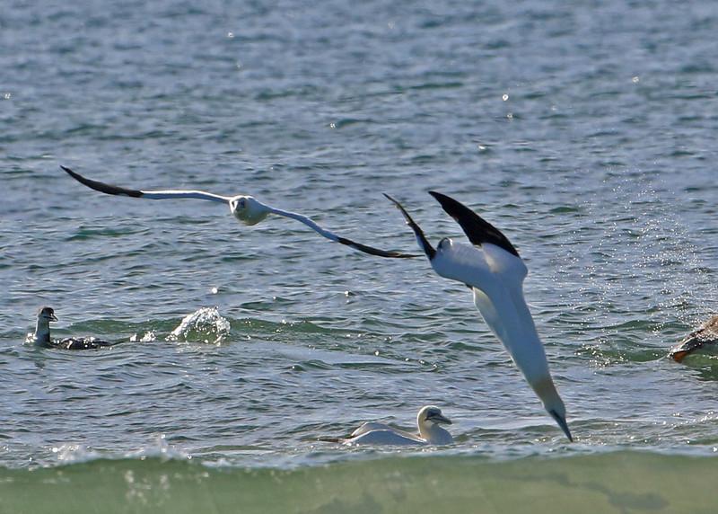 Northern Gannet<br /> Wrightsville Beach, NC