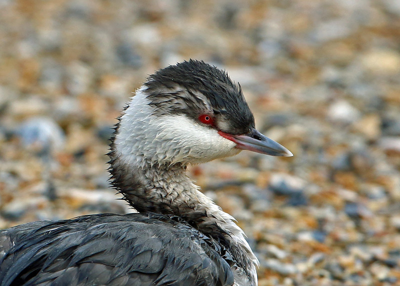 Horned Grebe<br /> Wrightsville Beach, NC