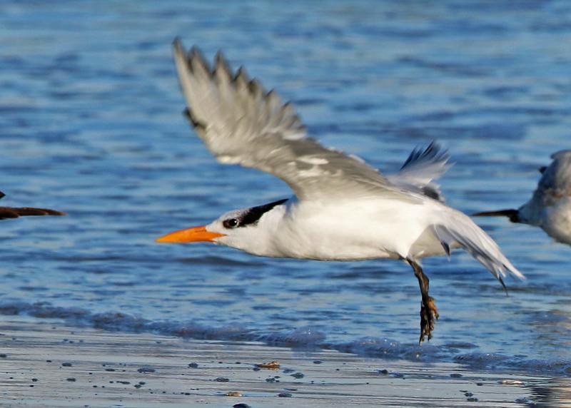 Royal Tern<br /> Wrightsville Beach, NC