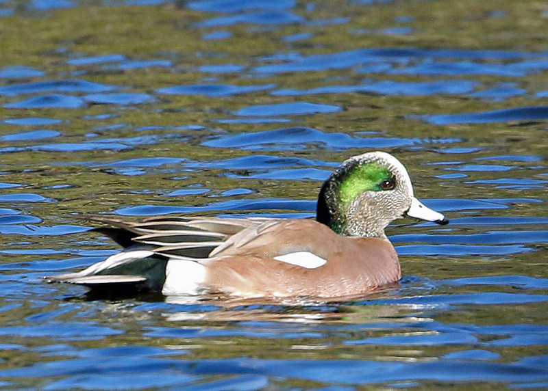 American Wigeon<br /> Wrightsville Beach, NC