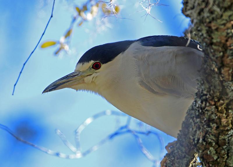 Black-crowned Night Heron<br /> Wrightsville Beach, NC