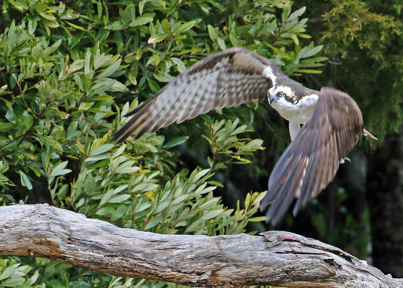 Osprey<br /> Bald Head Island, NC