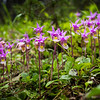 """Purple Flames"" IV<br /> <br /> Calpyso Orchids, Banff National Park, Alberta, Canada."