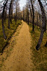 Forest paths through the larches, Mount Assinboine Provincial Park, British Columbia, Canada