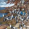 African Penquins Gathering