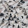Nesting Cape Cormorants