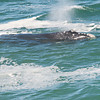 Right Whale Blows