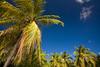 Palm trees on tropical island of Antigua.