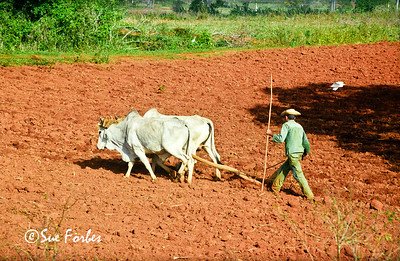 Ploughing the fields, Cuba Man using Oxen to plough the tobacco fields in Vinales Valley, Cuba