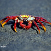 Sally Light Footed Crab<br /> Sally Light Footed Crab at Point Espinosa, Fernandina Island, Galapagos