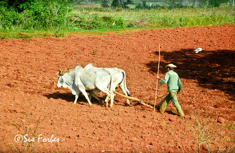 Ploughing the fields, Cuba<br /> Man using Oxen to plough the tobacco fields in Vinales Valley, Cuba